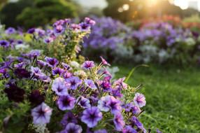 цветы, петунии,  калибрахоа, сад, садовые, сиреневые, боке, свет