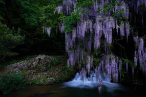 цветы, глициния, водопад, природа, каскад