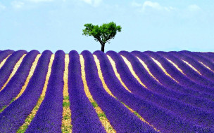 цветы, лаванда, поле, дерево, небо