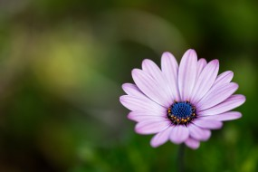фон, сиреневый, макро, лепестки, цветок