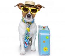 пес, собака, джек-рассел, шляпа, чемодан, галстук, очки
