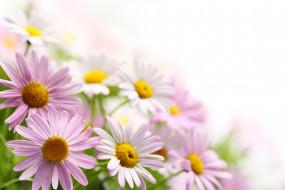 обои для рабочего стола 4500x3000 цветы, ромашки, пыльца, розовые