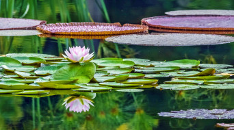 waterlily in reflection, �����, ����� �������,  ������,  ��������, �����, ����