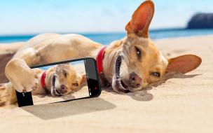 юмор и приколы, юмор, отдых, снимок, солнце, смартфон, Чихуахуа, улыбка, загорает, на, песке, море, лежит, пляж