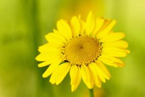 цветы, ромашки, жёлтый, цветок