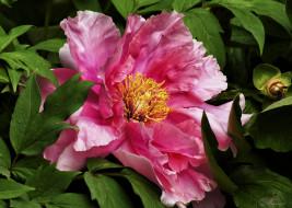 цветы, пионы, пион, макро, розовый
