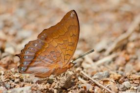 животные, бабочки,  мотыльки,  моли, усики, крылья, бабочка, макро, фон
