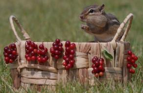 животные, бурундуки, ягоды, корзина, бурундук