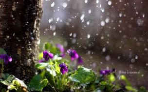 цветы, фиалки, природа, дождь