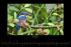 календари, животные, январь, 2016, зимородок, птица