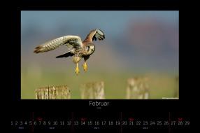 календари, животные, летит, сокол, птица, февраль, 2016