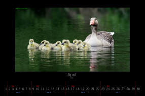 календари, животные, гусята, гусыня, апрель, 2016, озеро