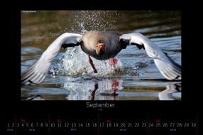 календари, животные, брызги, гусь, сентябрь, 2016