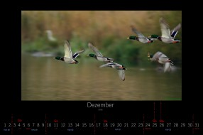 календари, животные, 2016, утки, декабрь