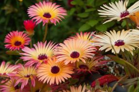 Mesembryanthemum, мезембриантемум, цветы