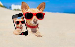 юмор и приколы, смартфон, песок, пляж, очки, юмор, фото, снимок, Чихуахуа