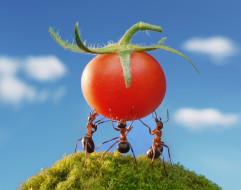ситуация, помидорка, макро, насекомые, силачи, муравьи, небо, лето, мох