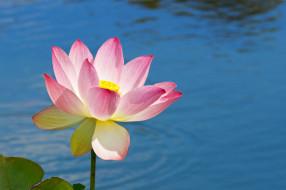 цветы, лотосы, вода, лотос, цветок, лепестки