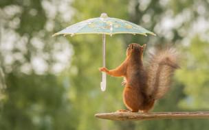 юмор и приколы, белка, зонтик, дождь